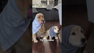 Golden Retrievers Made To Wear What They Steal