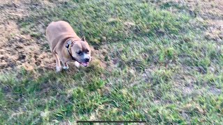 Off Leash With Pitbull | Super Obedient Dog