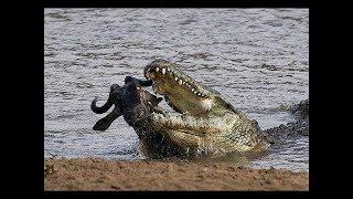 Live Now - Wild Animals Documentary - Crocodile Attacks Discovery Documentary Animal HD