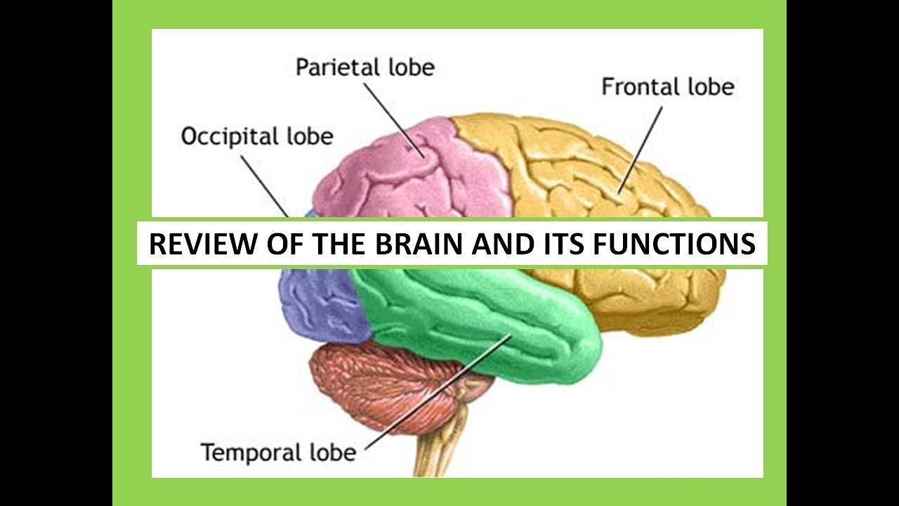 REVIEW OF THE BRAIN AND ITS FUNCTIONS - YouTube