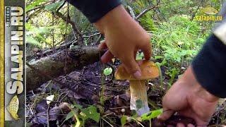 Тихая охота. По грибы с экшн-камерой. Белые, подосиновики, подберезовики.
