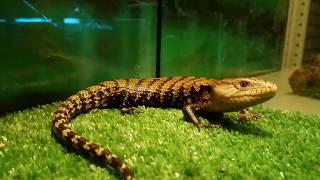 Поставка новых животных: Игуаны, скорпионы, эублефары, сцинк и т.д.