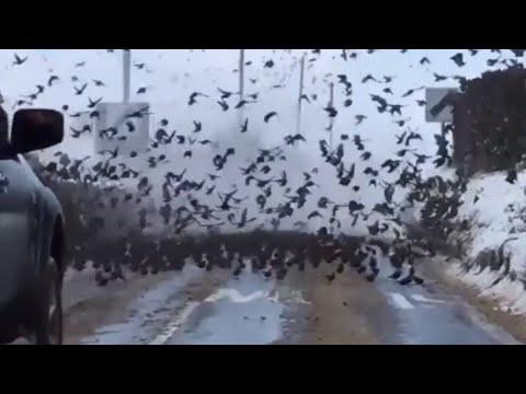 Giant flock of starlings blocks West Norfolk road