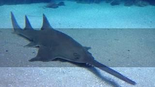 Interesting Saw shark Facts