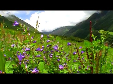 Himalayan Bell Flowers in  the Valley of Flowers National Park