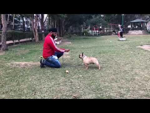 Indian Champion French Bulldog
