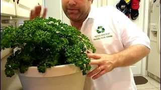 Harvesting & Growing Parsley Correctly