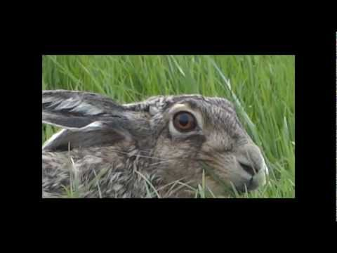 Racing Hare  /  Rennende Haas