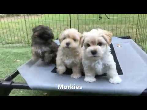 Adorable Morkie Pups In Florida