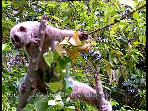 Slow loris with eyes wide open, Kaziranga