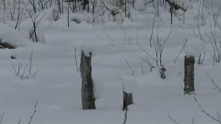 Охота на волка часть 3