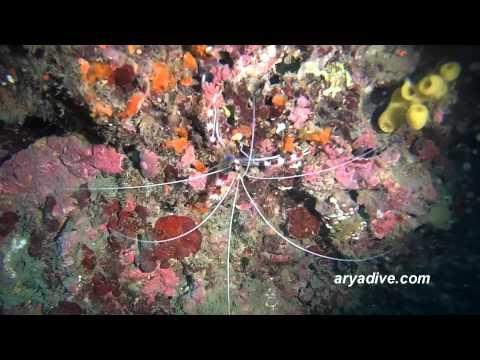 청소새우#1(Stenopus hispidus)~ Banded boxer shrimp,Banded Coral Shrimp