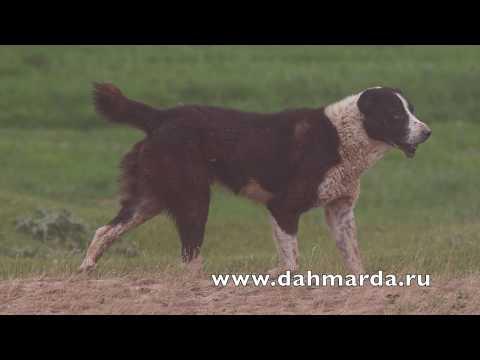 видео: Гиссарские овцы и саги дахмарда чабанов из селения Чимгилиш, Кабадияна