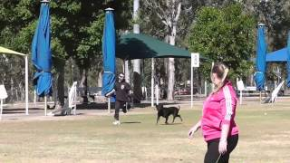 Rottweiler Nationals Qld 2014 Breed Survey  - Diziz Actions Speak Louder