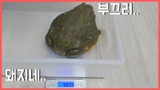 괴물 개구리(픽시프록)및 레오파드게코,아머드스킨크,육지…