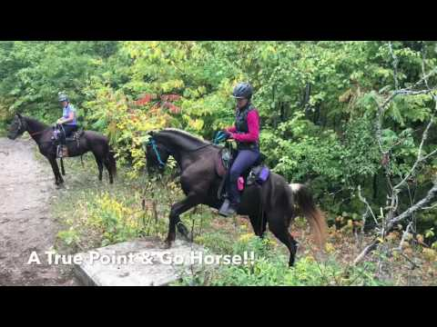 SOLD: Gaited Rocky Mountain Mare - BVF's Journey Girl