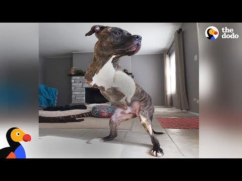 Pit Bull Dog Born Without Front Legs Makes His New Family So Happy - COLE | The Dodo