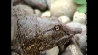 Амурская черепашака