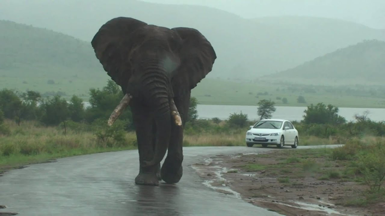 big big big elephant walks by our car on safari youtube