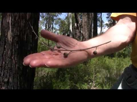 Differences between Marri (Red Gum) and Jarrah Trees
