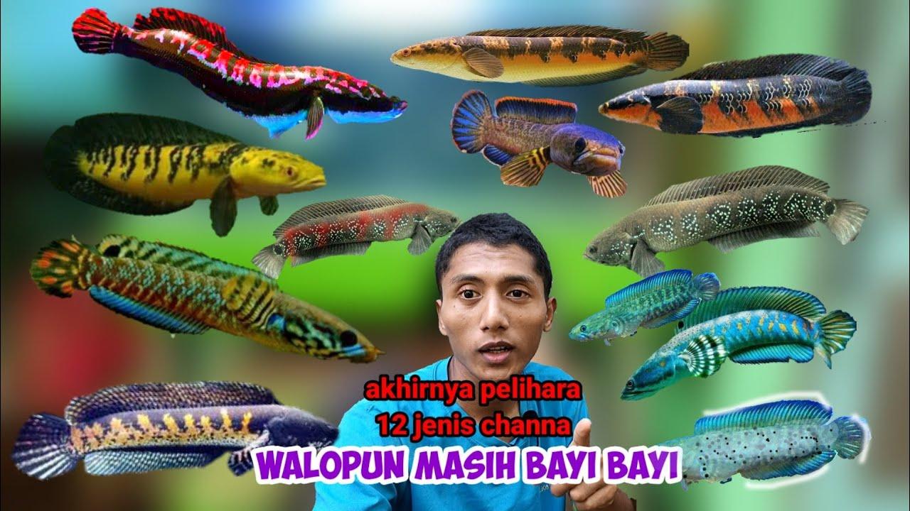 12 jenis ikan Channa dirumahku
