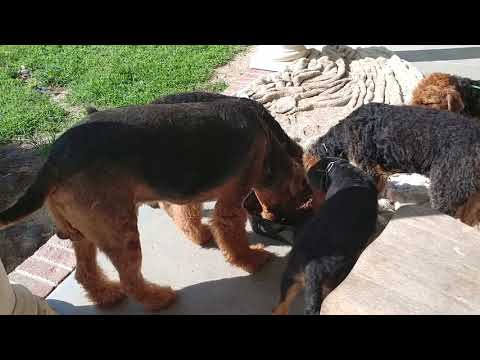 Feeding Daddy Duke and Airedale Terrier Puppy Puppies For Sale On July 27, 2018