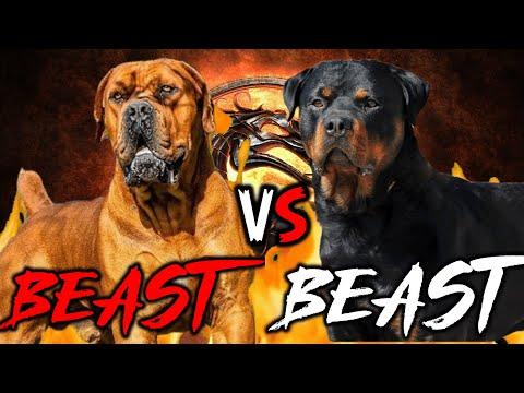 Boerboel vs Rottweiler | Rottweiler vs Boerboel | Powerful Guard Dog? | Billa Boyka |