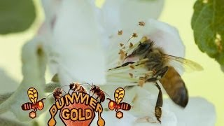 Apple Blossom Bees May 24 2014