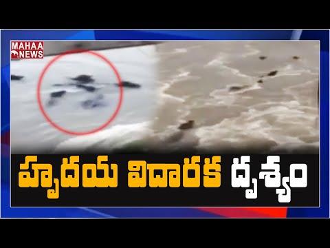 ప్రకాశం బ్యారేజీ లోకి కొట్టుకొచ్చిన గేదెలు | MAHAA NEWS