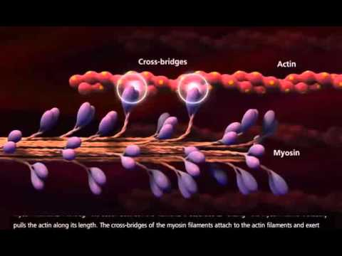 Muscle Contraction Process  Molecular Mechanism 3D Animation