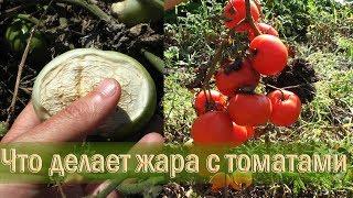 Что происходит с помидорами на большой жаре