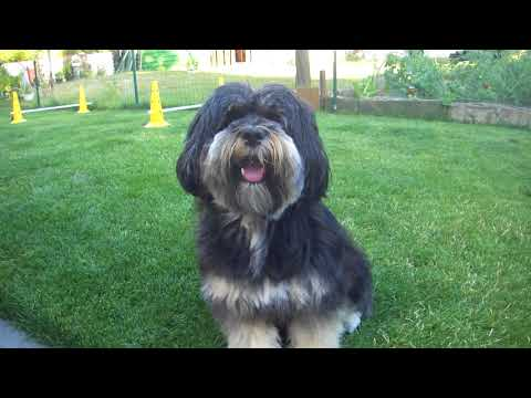 Train the dog Tibetan Terrier tricks fun Hundetraining spass tricks