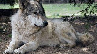 I Am A Wolf Dog