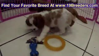 Cavalier King Charles Spaniel, Puppies, For, Sale, In, Des Moines, Iowa, Ia, Bettendorf, Marion, Ced