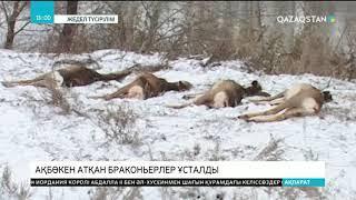 Павлодарда  ақбөкен атқан браконьерлер ұсталды