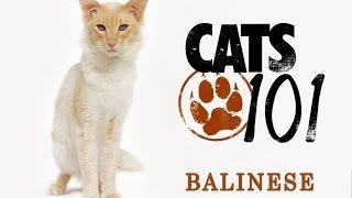 Балинезийская кошка - Balinese cat