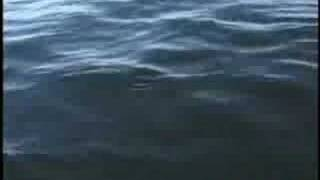 Killer whales attacking sealion