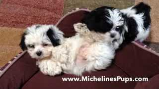 How to teach a Mal Shi pup to sit and lay down - Micheline's Pups Florida