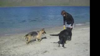Labrador Retriever And German Shepherd Having Fun