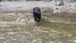 Schipperke dog stranded in a river!