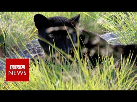 Rare India black leopard caught on film- BBC News