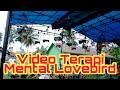 Terapi Melatih Mental Lovebird  Simulasi Lomba Lovebird Fighter  Mp3 - Mp4 Download