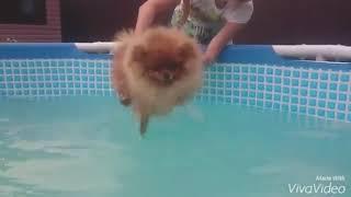 Шпиц Сандрик первые уроки плавания))😂