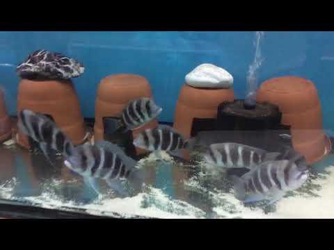 Balığın Ağzında Yavru Olduğunu Nasıl Anlarız?