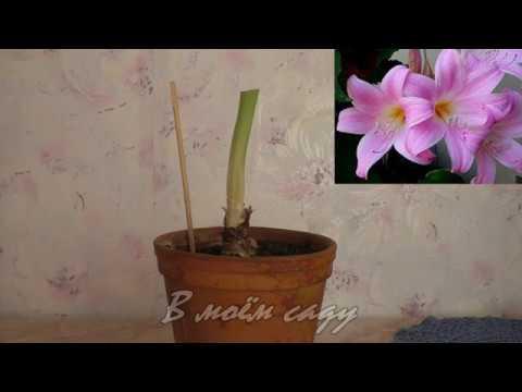 Почему ГИППЕАСТРУМ не цветет Амариллисовые