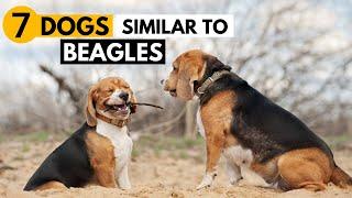 7 Dog Breeds Similar to Beagles | Best Beagle Alternatives