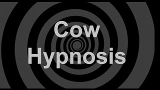 Cow Hypnosis