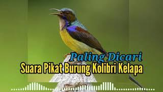Download Lagu Suara Pikat Burung Kolibri Kelapa Paling Dicari mp3