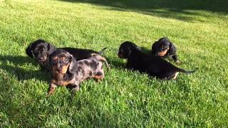 Mini Dachshund Puppies For Sale Edmonton Alberta