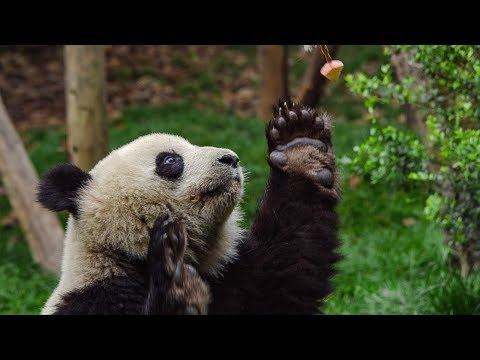 download Male Panda's 'Sexercise' Training Regime | BBC Earth